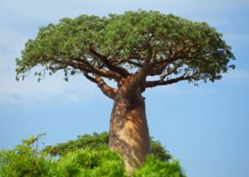 Why the baobab is so important to Africa