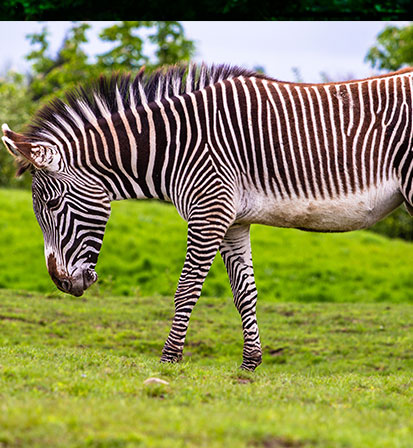 The Grevy's Zebra Safari