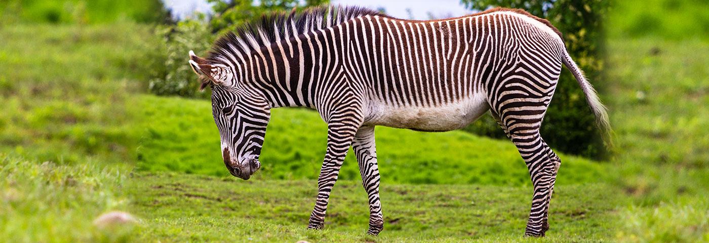 The Grevy's Zebra Safari